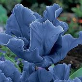 Rare 'Blue Parrot' tulips