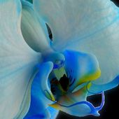 Unique Blue orchid