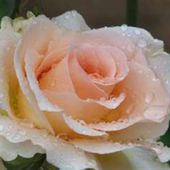 Tea rose with dew drops