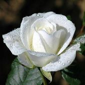 White rose with water drops