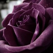 Beautiful purple rose