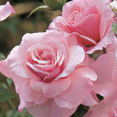 'Our Lady of Guadalupe' Rose