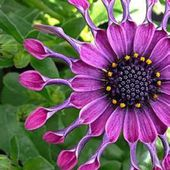 Very beautiful African Daisy