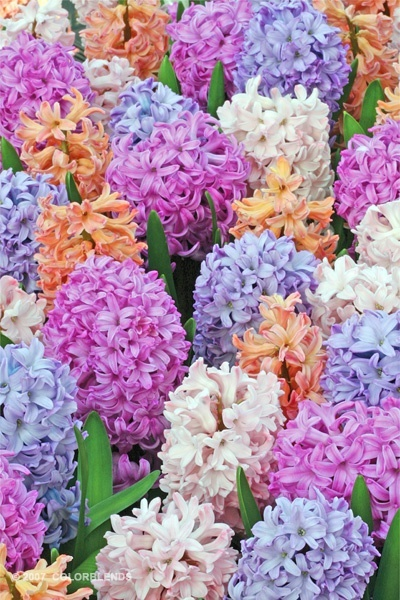 Beautiful Hyacinth