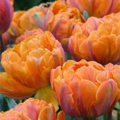 Orange Princess Tulips