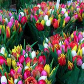 Colorful tulip bunches