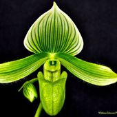 Rare green orchid
