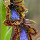 Ophrys speculum, wild orchids of Spain