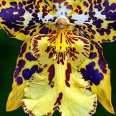 Spotted yellow orchid