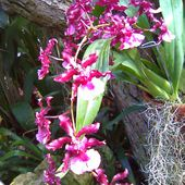 Epiphytes and Soil-Free Orchids