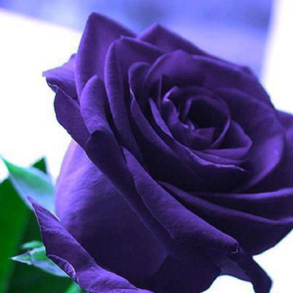 Amazing blue rose - photo#8