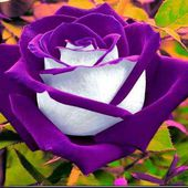 Amazing two colored rose