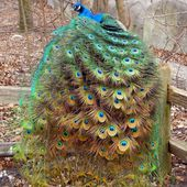 Peacock Sitting on The Fence
