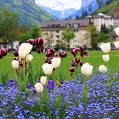 Tulips in Interlaken