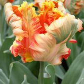 Dutch Tulips - Apricot Parrot