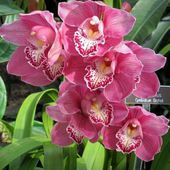 Very tender pink orchids