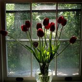 Red tulips on a windowsill
