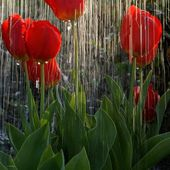Red tulips in the rain