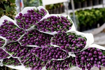 Bunches of purple tulips