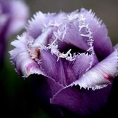 Purple Fringed Tulip