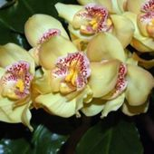 Lovely yellow orchids