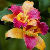 Two colored orchids with dew drops