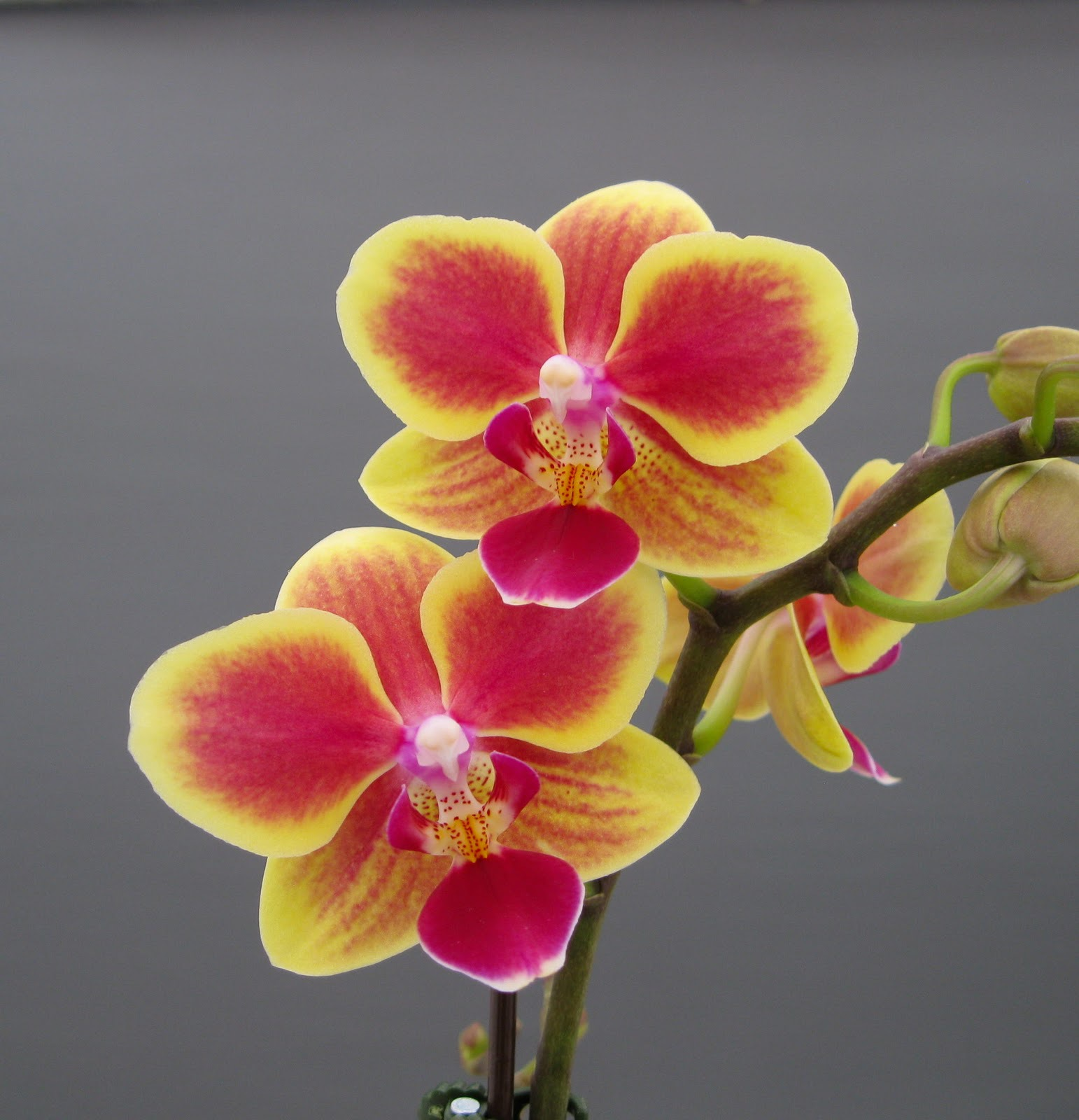 Two colored orchid branch
