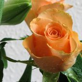 Wet orange rose