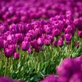 Field of purple tulips