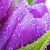 Purple Tulips with Raindrops