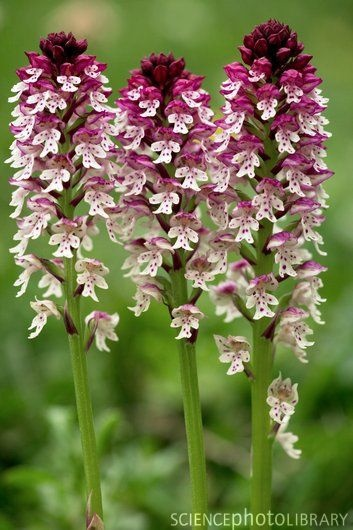 Burnt-orchid (Orchis ustulata)