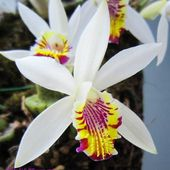 Rare Beauty Pleione maculata orchid