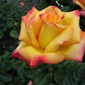 Yellow blend rose