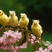 Young Canary Birds