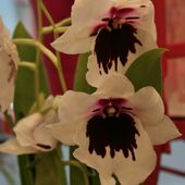 White and Red orchid flowers