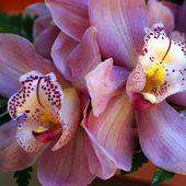 Very tender orchids