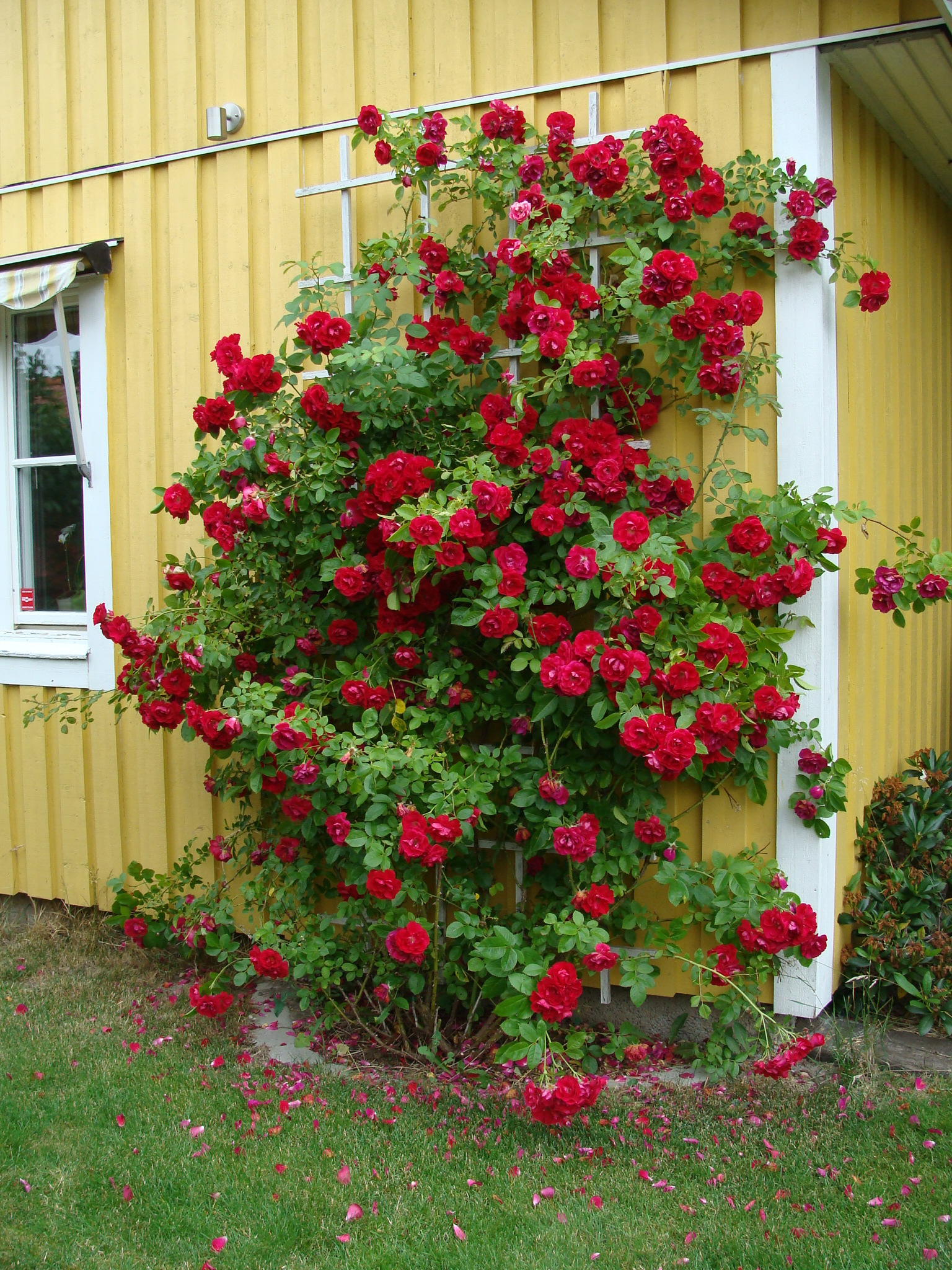Pictures Of Rose Bushes