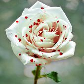 A Polka Dot Rose