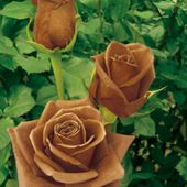 Amazing Chocolate roses