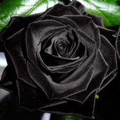 Amazing black velvet rose