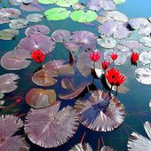 Amazing water lilies