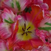 Lovely parrot tulips