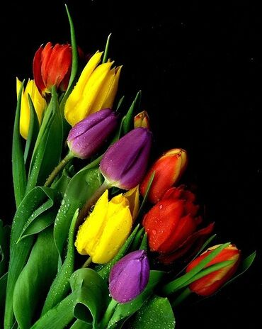 Colorful tulips in the dark