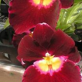 Bright red orchids