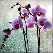 Pink orchids on a window