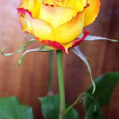 Rare two colored rose