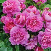 Princess Anne English Roses