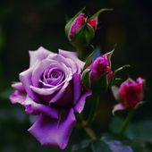 Lavender rose with buds