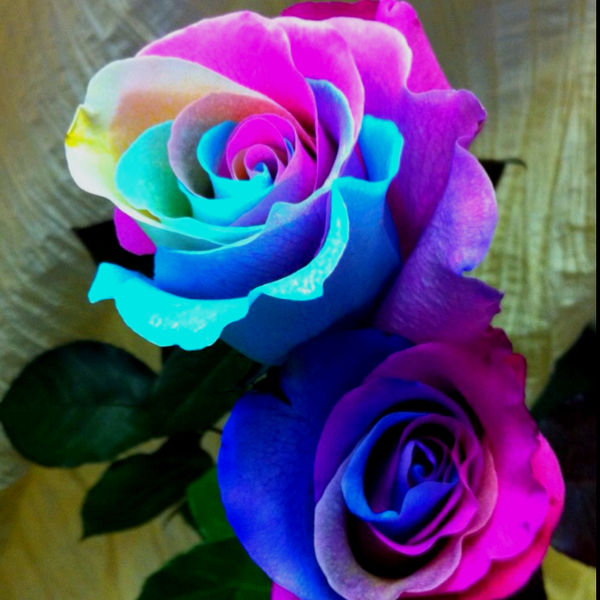 Amazing rainbow roses for How much are rainbow roses