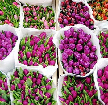 Bunches of fresh tulips